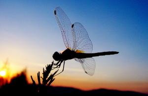 La libellule indécise Capture-d'écran-2012-08-25-à-13.01.50-300x196