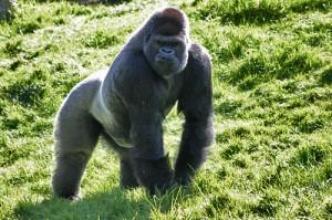 L'ultra sportif gorilla-300x199